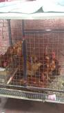 Gallinas, ponen huevos rojos