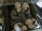 Conejo vivo Razas: Nueva Zelanda, California, Mariposa, Chinchilla