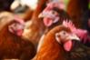 Fitobióticos en avicultura