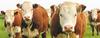 Promotores de Crecimiento en bovinos