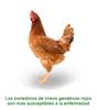 Vacunación en aves