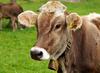 Vaca en transición