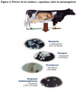 Suplementación en ganado de engorde
