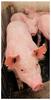 Fallas reproductivas en cerdos