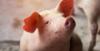 Nutrición en cerdos: Crecimiento y Finalización