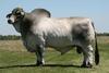 Cojera y problemas podales en ganado de carne