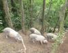 Genética en cerdos