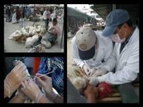 Mercados de Aves Vivas, Monitoreo de Influenza Aviar