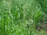 Semillas de pasto angleton climacuna