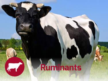 Ruminants Nutrition Solutions