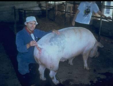 Pig A.I.
