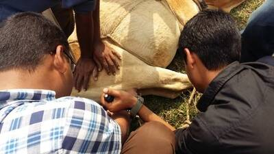 Castration of bull calves...