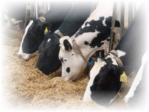 Dairy Cattle Feed