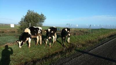 Young heifers grazing in Casar de Caceres (SW Spain) found during early morning running