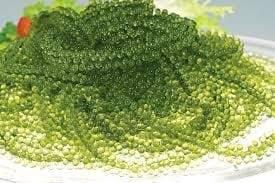 Seaweed Caulerpa-valmedteca