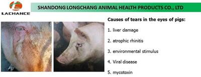 Causes of tear stains of pigs