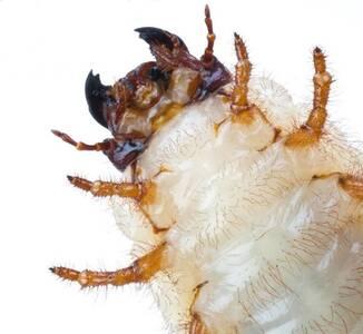 Melolonthidae larvae
