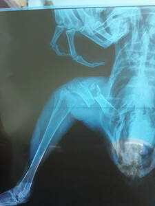Preoperative view of fractured femur in a cock