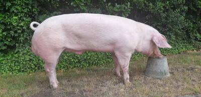 Belgian Landrace boar