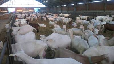 American Saanen Diary goats for sale