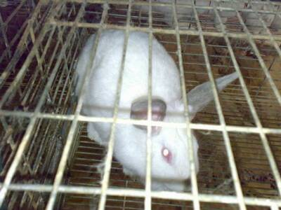 Rabbit production in Sohag Egypt