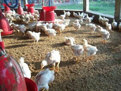 Low Cost Broiler Farm India