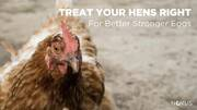 Treat your hens right for superior egg quality