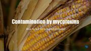 Contamination by mycotoxins and its predisposing factors