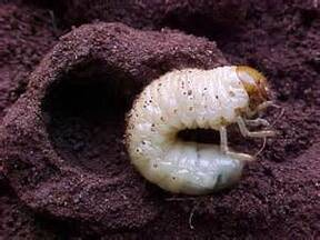 white bug Melolonthidae