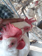 How to Identify good and poor layer chickens (Physical Feature, combs)