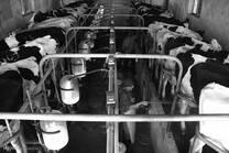 Dairy cattle herd