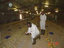 INSPECTING CHICKS PLACEMENT IN WAJID FARM