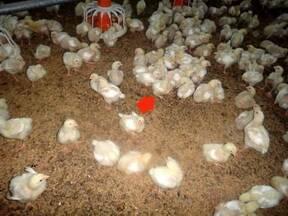 3. Many chicks sitting on hocks