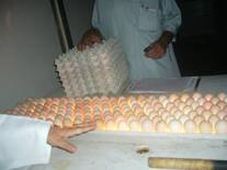 Candling of hatching eggs at hatchery
