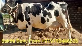 Cow supplier at Uppidamangalam,Tamilnadu