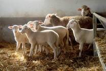 Turkish Kivircik Sheep