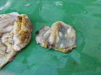 gizzard (left) and cuticle (right)