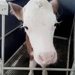 cute calf :)