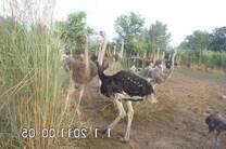 ostrich herd