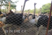 ostrich  parent