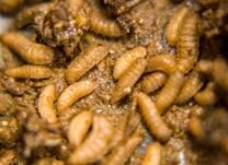 Black Soldier larvae