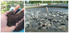 catfish feed formula