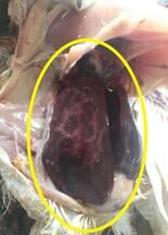 Big liver