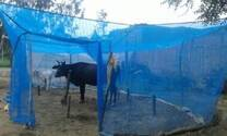 cow nets for protection against mosquitoes and flies