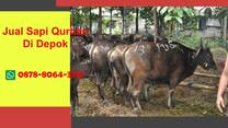 EKSKLUSIF, Sapi Qurban Depok WA 0878-8064-3713