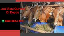 Sapi Kurban 2021 Depok, WA 0878-8064-3713