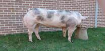 Belgian Pietrain boars