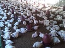 Broiler Flock