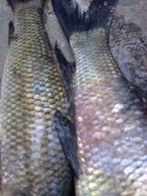 Diseases In  Fishes