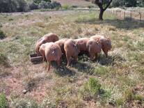 Petrain boars